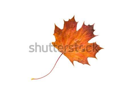 Asciugare foglia d'acero natura stagione autunno botanica Foto d'archivio © dolgachov