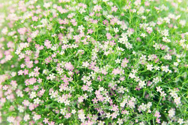 красивой Полевые цветы области текстуры садоводства ботаника Сток-фото © dolgachov