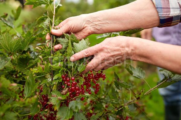 Idős nő piros ribiszke nyár kert Stock fotó © dolgachov