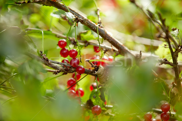 Piros ribiszke bokor nyár kert ág Stock fotó © dolgachov