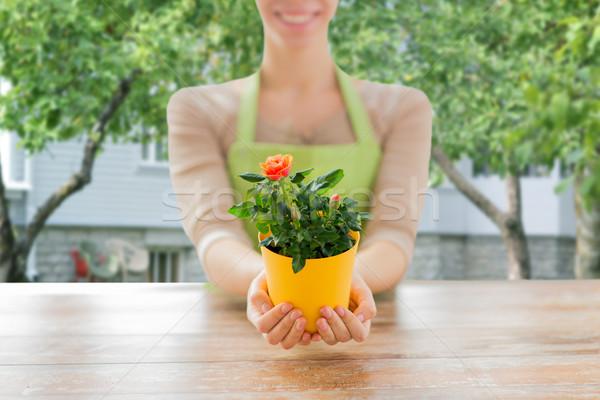 Femme mains roses Bush Photo stock © dolgachov