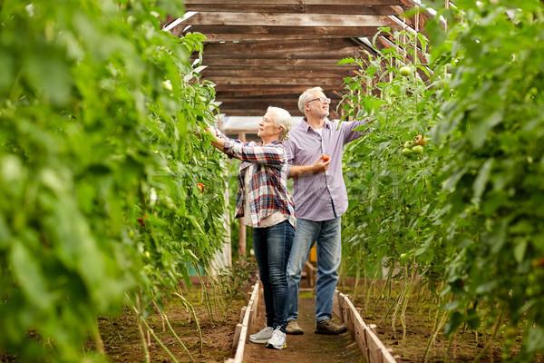 Viejos tomates hasta granja invernadero Foto stock © dolgachov