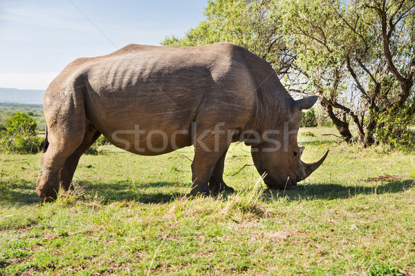 Rinoceronte savana África animal natureza fauna Foto stock © dolgachov