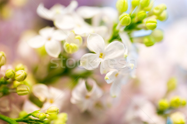 close up of beautiful lilac flowers Stock photo © dolgachov
