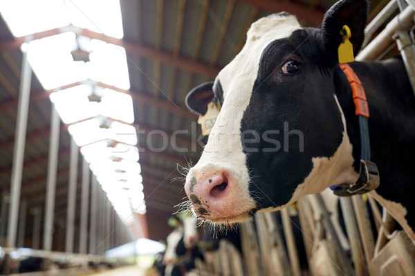 herd of cows in cowshed on dairy farm Stock photo © dolgachov