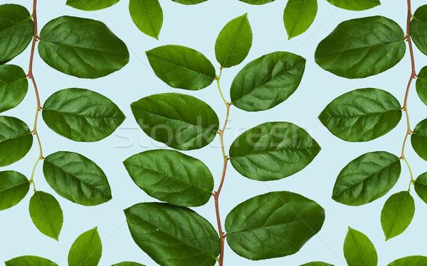 Hojas verdes azul naturaleza orgánico botánica hoja Foto stock © dolgachov