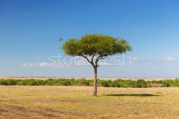 eagle flying away from tree in savannah at africa Stock photo © dolgachov