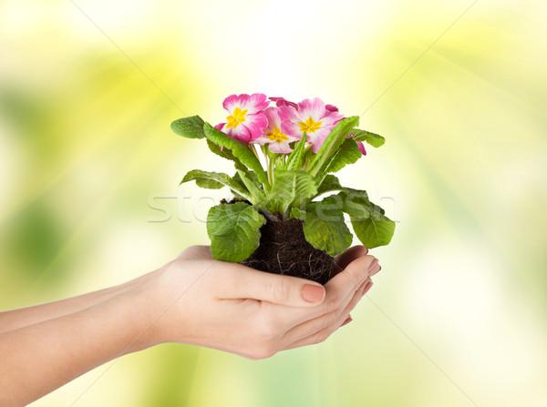 Ręce kwiat gleby wiosną Zdjęcia stock © dolgachov