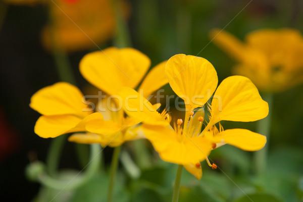 Piękna żółte kwiaty lata ogród ogrodnictwo botanika Zdjęcia stock © dolgachov