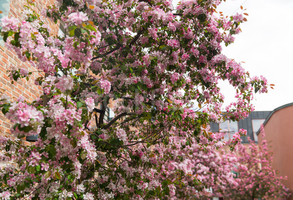 close up of beautiful blooming branch with flowers Stock photo © dolgachov