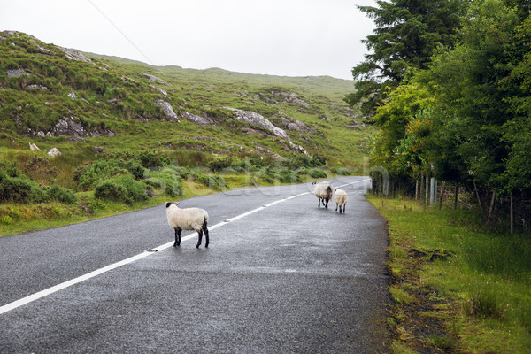 sheep grazing on road at connemara in ireland Stock photo © dolgachov
