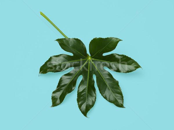 Yeşil yaprak mavi doğa organik botanik yaprak Stok fotoğraf © dolgachov