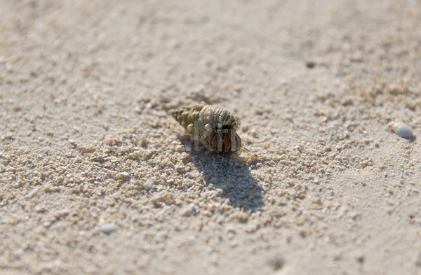 рак оболочки песчаный пляж путешествия туризма отпуск Сток-фото © dolgachov