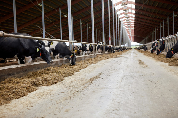 herd of cows eating hay in cowshed on dairy farm Stock photo © dolgachov