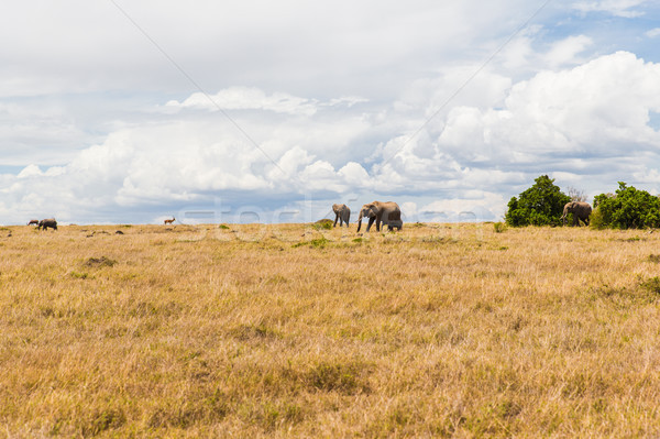 elephants and other animals in savannah at africa Stock photo © dolgachov