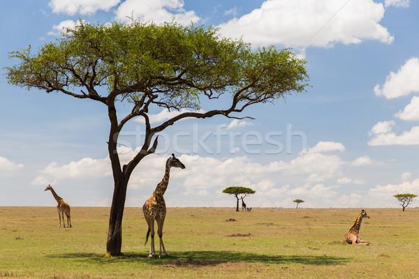 Zsiráfok szavanna Afrika állat természet vadvilág Stock fotó © dolgachov