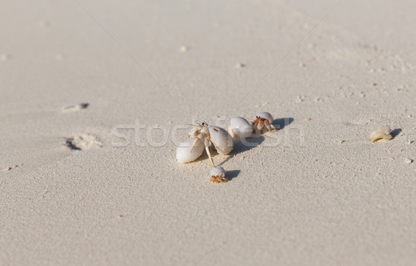 crabs hatching from shells on beach sand Stock photo © dolgachov