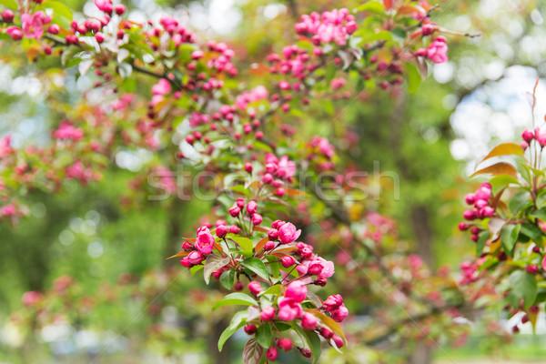 Güzel elma ağacı şube doğa Stok fotoğraf © dolgachov