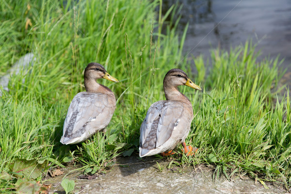 two ducks on river bank Stock photo © dolgachov
