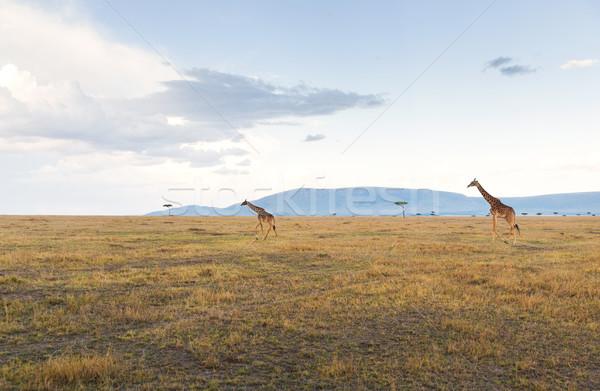 giraffes in savannah at africa Stock photo © dolgachov