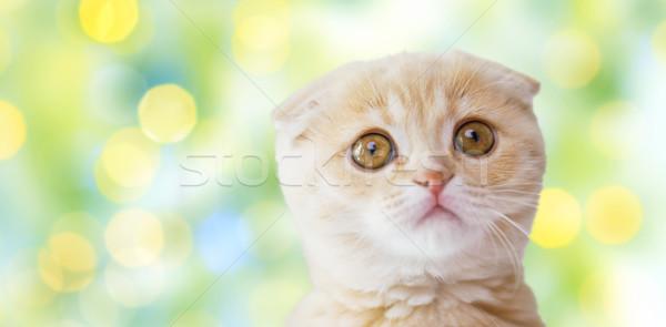 close up of scottish fold kitten over green lights Stock photo © dolgachov
