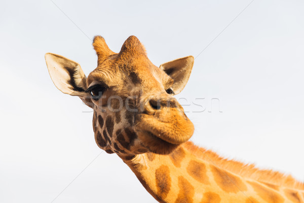 Stock photo: giraffe in africa