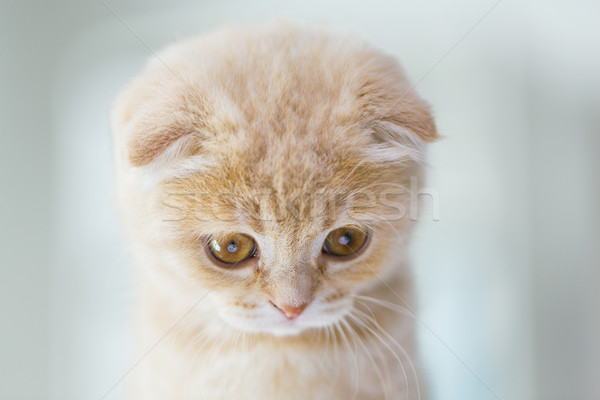 Stock photo: close up of scottish fold kitten