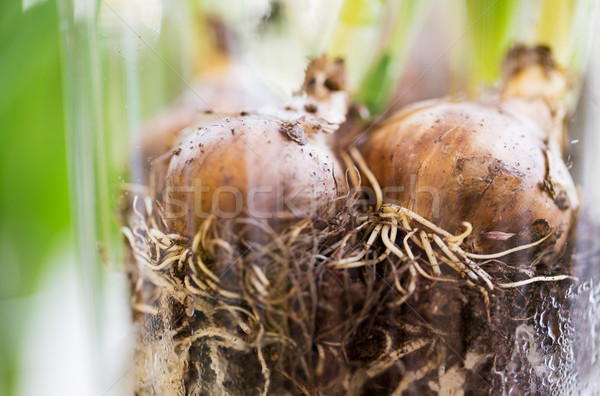close up of flower bulb or onion Stock photo © dolgachov