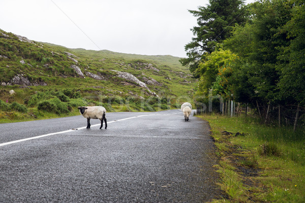 Moutons route Irlande Voyage campagne asphalte Photo stock © dolgachov