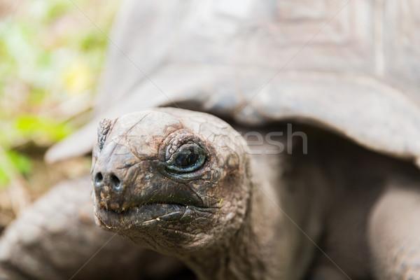 close up of giant tortoise outdoors Stock photo © dolgachov