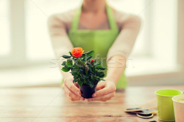 Donna mani rose Bush Foto d'archivio © dolgachov