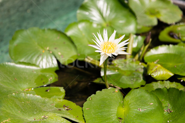 Lelie vijver natuur flora biologie Stockfoto © dolgachov