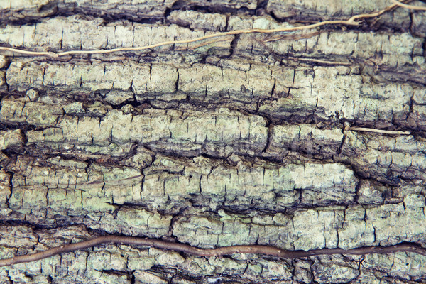 tree trunk bark texture Stock photo © dolgachov