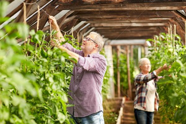 Starszy para pracy gospodarstwa szklarnia ogrodnictwo Zdjęcia stock © dolgachov