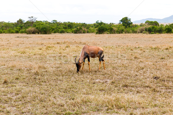 topi antelope grazing in savannah at africa Stock photo © dolgachov