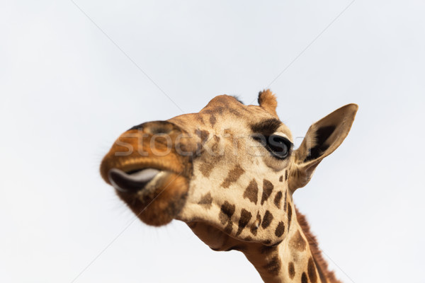 close up of giraffe head Stock photo © dolgachov