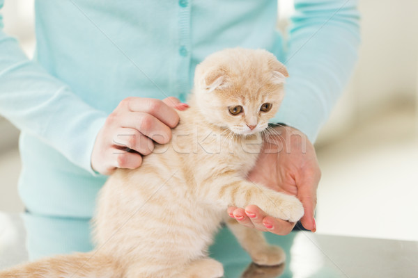 close up of scottish fold kitten and woman Stock photo © dolgachov