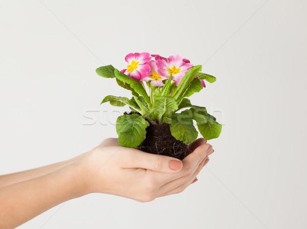 рук цветок почвы весны Сток-фото © dolgachov