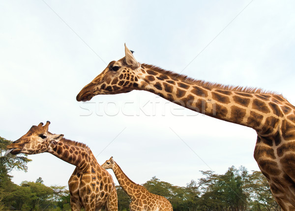 giraffes at national reserve or park in africa Stock photo © dolgachov