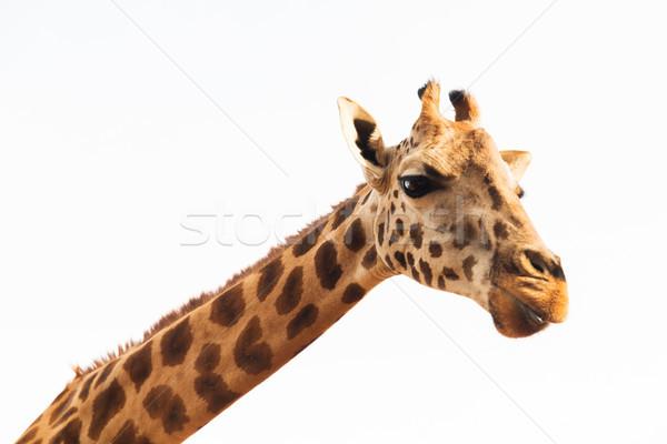 Zürafa Afrika hayvan doğa yaban hayatı gökyüzü Stok fotoğraf © dolgachov