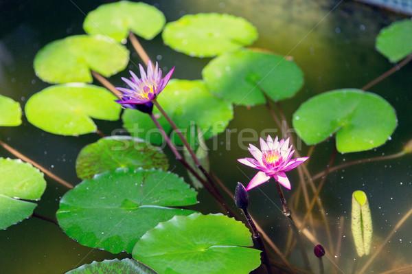 воды лет пруд природы флора Сток-фото © dolgachov