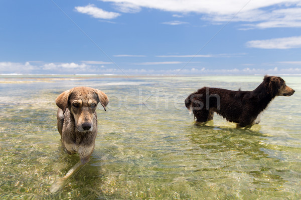 dogs in sea or indian ocean water on seychelles Stock photo © dolgachov