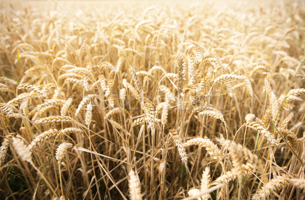 field of ripening wheat ears or rye spikes Stock photo © dolgachov