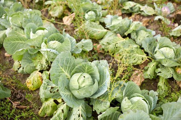 Cavolo crescita estate giardino letto farm Foto d'archivio © dolgachov