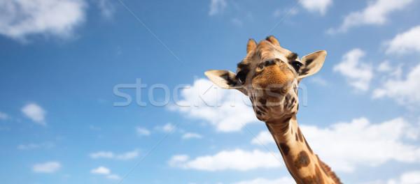 Giraffe hoofd witte dier natuur Stockfoto © dolgachov