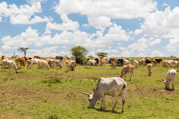 cows grazing in savannah at africa Stock photo © dolgachov