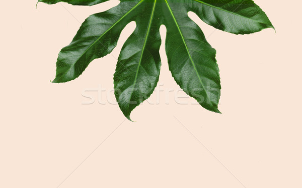 green leaves over beige background Stock photo © dolgachov