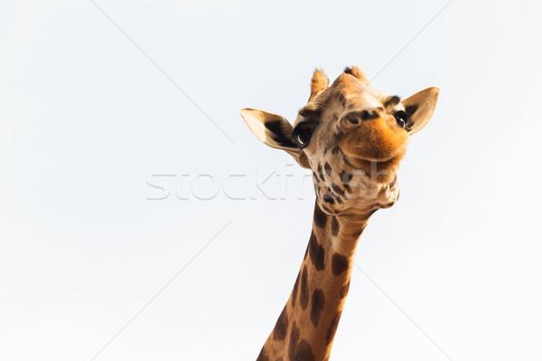 giraffe in africa Stock photo © dolgachov