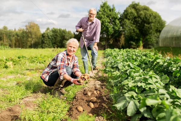 Casal de idosos batatas jardim fazenda Foto stock © dolgachov