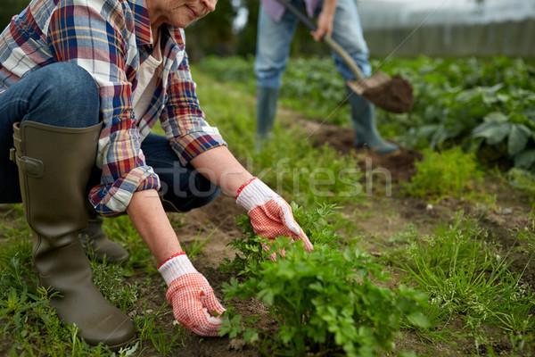 Casal de idosos trabalhando jardim verão fazenda Foto stock © dolgachov
